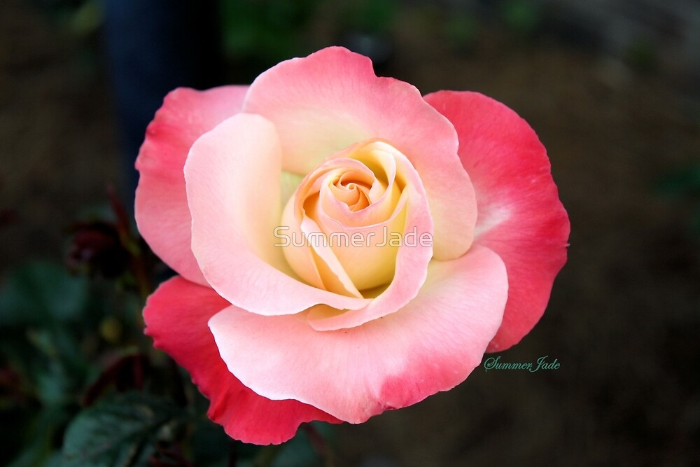 A Blushing Rose ~ Two Tone Beauty by SummerJade