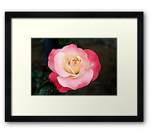 A Blushing Rose ~ Two Tone Beauty Framed Print