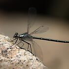 Dragon Fly by Keith Smith