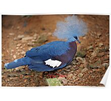 Western Crowned Pigeon - Singapore. (2) Poster