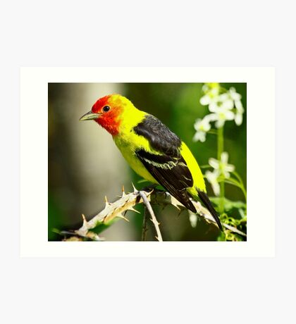 Western Tanager on it's Spring Migration  Art Print
