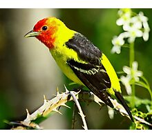 Western Tanager on it's Spring Migration  Photographic Print