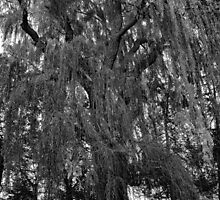 Old Man Willow Weeping  by Robert Meyers-Lussier