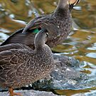 Preening Ducks by STHogan