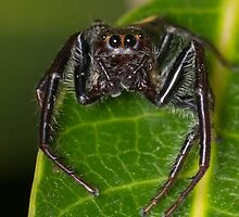 Opisthoncus mordax Jumping Spider by Teale Britstra