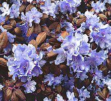 Lilac Azaleas by Jane Neill-Hancock