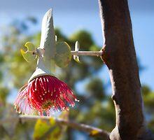 Budding Eucalyptus Macrocarpa by Darren Speedie