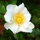 White Rose of York by Darren Speedie