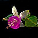 Fuchsias XXIX by Tom Newman