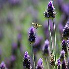 Lavender  by Darren Speedie