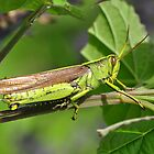 Obscure Bird Grasshopper by Kathy Baccari
