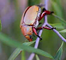 Christmas Beetle by R-Summers