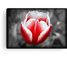 Red & white tulip Canvas Print