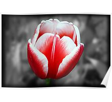 Red & white tulip Poster