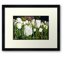 White tulip field Framed Print