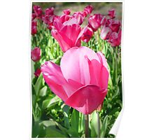 Perfect Pink Tulips Poster