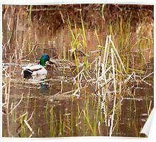 A Pair Of Mallard Ducks  Poster