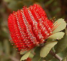 Banksia coccinea, WA by Geoffrey Grinton