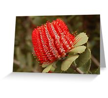 Banksia coccinea, WA Greeting Card