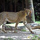 Cheetah - Singapore. by Ralph de Zilva