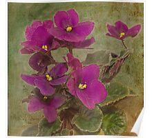Purple African Violet Poster