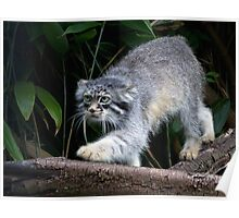 Pallas cat on Branch Poster