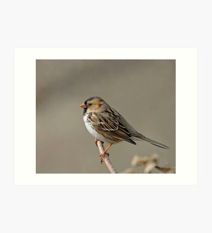 Harris' Sparrow Art Print