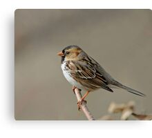 Harris' Sparrow Canvas Print
