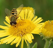 Hoverfly by MendipBlue