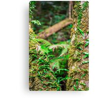 Forest tree in Queensland Canvas Print