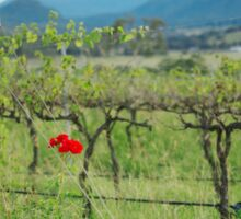 Vineyard in Kooroomba  Sticker