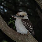 Kookaburra at conto by gogston