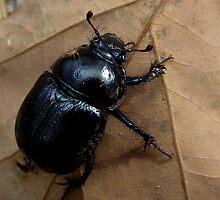 Dung Beetle (Anoplotrupes stercorosus) by SophiaDeLuna