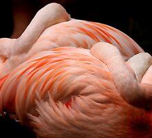 Flamingos asleep. by jonlenton