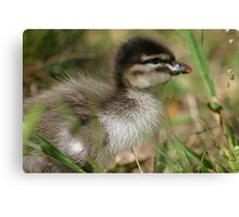 Baby Wood Duck Canvas Print