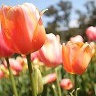 Tulip Field by Emma Holmes