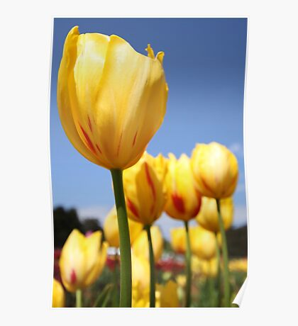 Tulip Me Yellow Poster