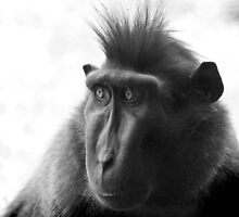 Black Macaque by jonlenton