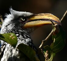 Southern Yellow-billed Hornbill by jonlenton