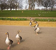 Ducks by Alex Chartonas