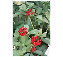 Holly and Berries Poster
