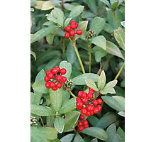 Holly and Berries Photographic Print