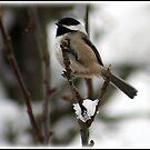Little Snow bird by AngieBanta