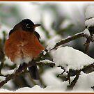 Winter Robin by AngieBanta