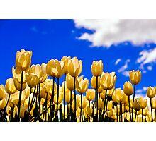 tulips under white Photographic Print