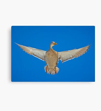Duck; its a mallard Canvas Print