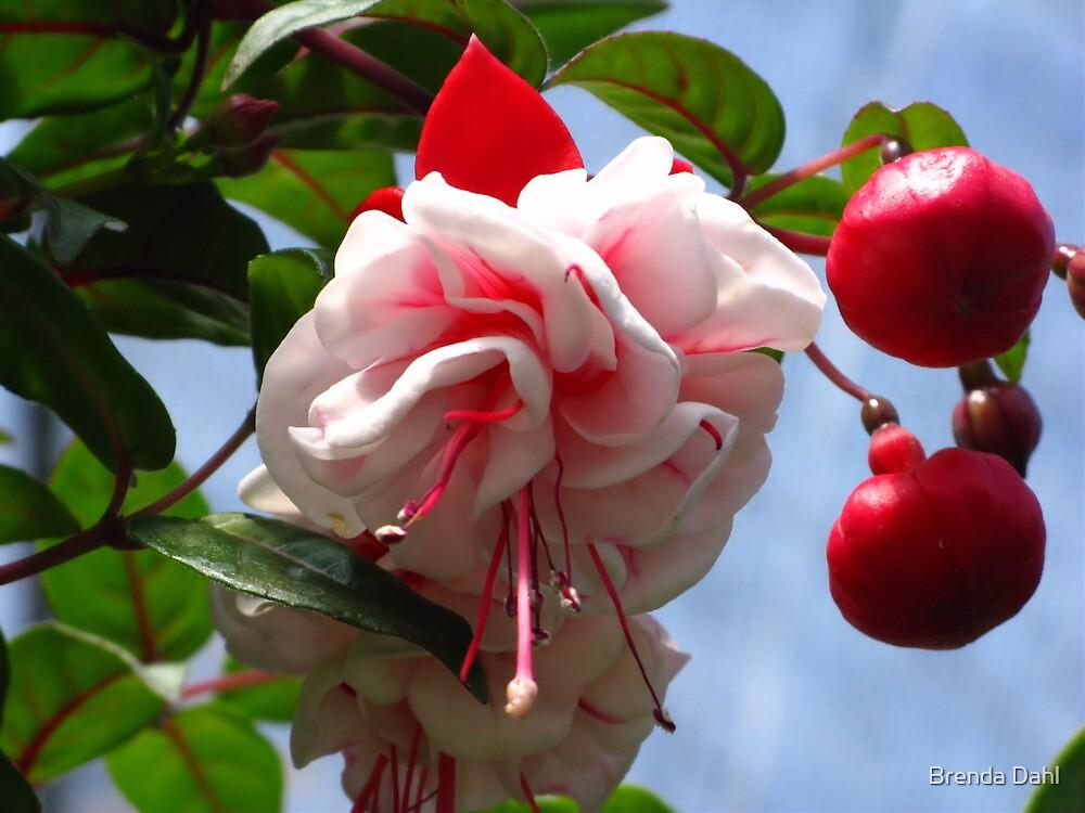 Hanging beauty by Brenda Dahl