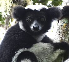 Beautiful Indri