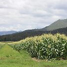Corn Fields of South Laidley by aussiebushstick