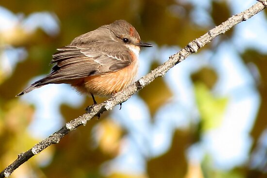 Vermilion Flycatcher ~ 1st Winter Male by Kimberly P-Chadwick